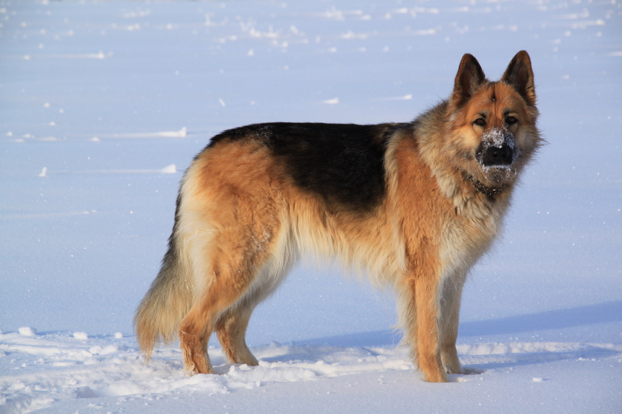 Shiloh Shepherd Puppies for Sale