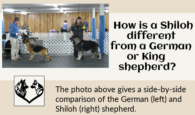 How is a Shiloh different from a German or King shepherd?