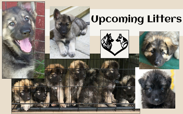 ISSA Upcoming Shiloh Shepherd Litters banner